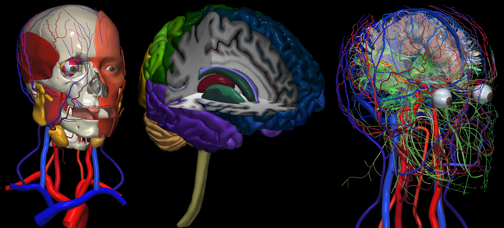 an overview of the human brain Overview of the brain (slide set) our brains provide the integrative power underlying the complex behavior of all vertebrates it is the control center for thought and creativity, as well as automatic functions of the body the human brain.